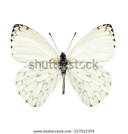 white butterfly isolated on white background - stock photo