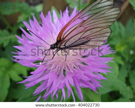 White butterfly on a flower of a cornflower close up
