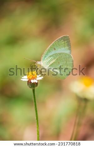 White butterfly on grass flower in green field  - stock photo