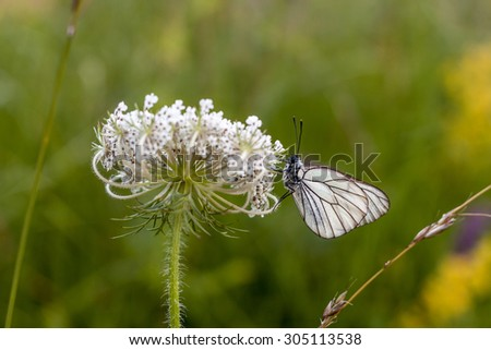 White butterfly with black stripes on a wildflower.
