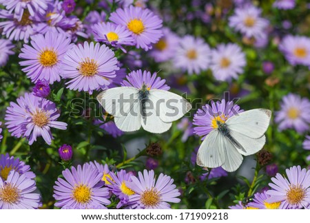 White Cabbage Butterfly duet on the bush of chrysanthemum - stock photo