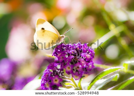 White cabbage butterfyl on a purple buddleia flower blossom