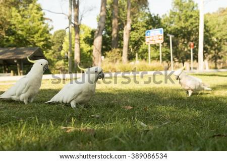 white cacadu Cacatuidae parrots at park in blue mountains australia - stock photo