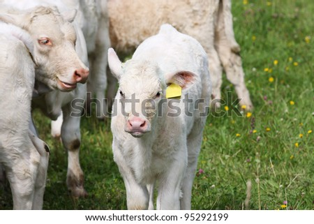 White calf grazing on a green field