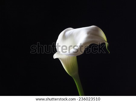 White calla flower on a dark background, selective focus and space for text - stock photo