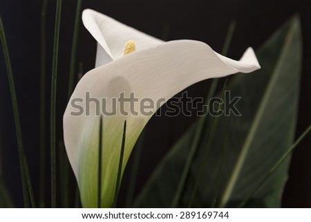 White Calla Lili with gren grass in front of black Background macro Detail