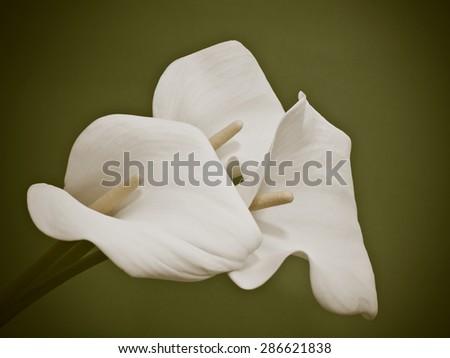 White Calla lilies - stock photo