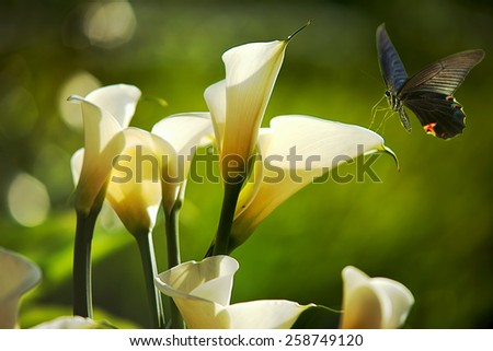 White Calla Lilies for adv or others purpose use - stock photo