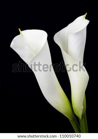 White calla lilies, over black background - stock photo
