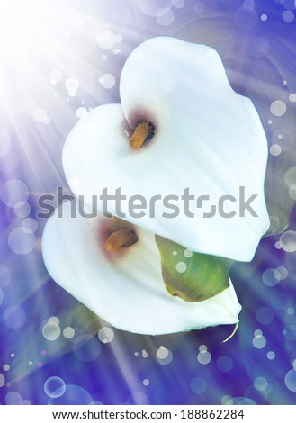 White calla lilies, over dark background, in soft focus. - stock photo