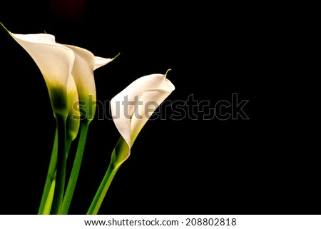 White Calla Lillies on Black Background with Copy Space