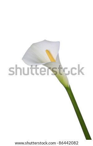White Calla lily - stock photo