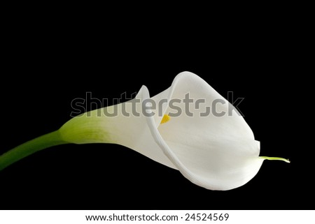 White calla lily isolated on black