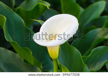 White calla lily surrounded by leaves - stock photo
