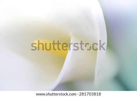White calla on pastel background and blur - stock photo