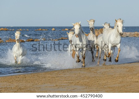White Camargue Horses galloping along the beach in Parc Regional de Camargue in the sunny day - Provence, France - stock photo