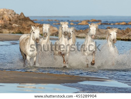 White Camargue Horses galloping along the beach in Parc Regional de Camargue (panorama) - Provence, France - stock photo