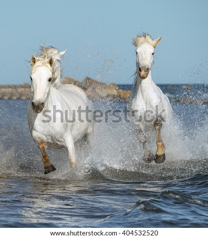 White Camargue Horses galloping along the beach in Parc Regional de Camargue - Provence, France.   - stock photo