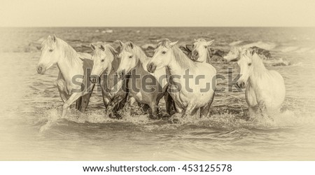 White Camargue Horses galloping along the beach in the Parc Regional de Camargue - Provence, France (stylized retro) - stock photo
