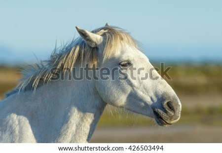 White Camargue Horses in the Parc Regional de Camargue - Provence, France - stock photo