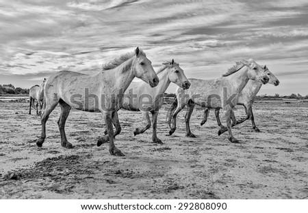 White Camargue Horses in the Parc Regional de Camargue - Provence, France (black and white) - stock photo