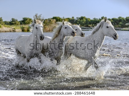 White Camargue Horses run in the swamps nature reserve in Parc Regional de Camargue - Provence, France - stock photo