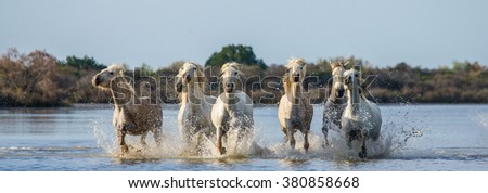 White Camargue Horses run in the swamps nature reserve. Parc Regional de Camargue. France. Provence. An excellent illustration - stock photo