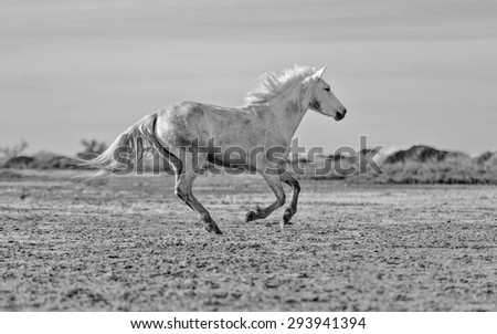 White Camargue Horses run nature reserve in Parc Regional de Camargue - Provence, France (black and white)  - stock photo