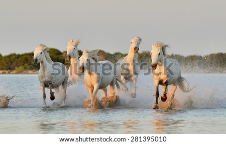 White Camargue horses run on water in sunset beams of the sun - stock photo