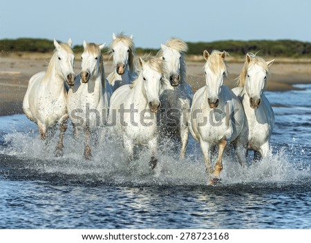 White Camargue Horses running on the beach in Parc Regional de Camargue - Provence, France - stock photo