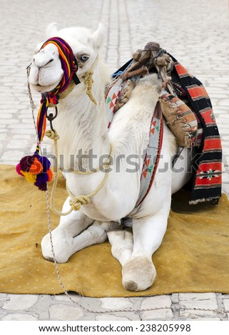 White camel used as tourist attraction resting on on street in Tunisia. - stock photo