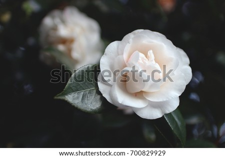 White camellia flowers stock photo royalty free 700829929 white camellia flowers mightylinksfo