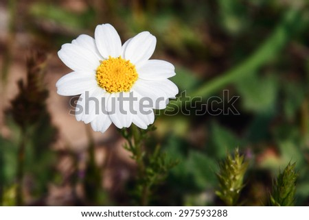 White camomile in the spring garden - stock photo