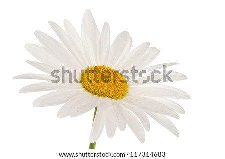 white camomile isolated on white background
