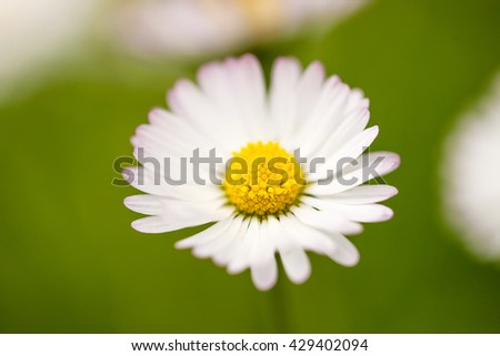white camomile with a yellow core grows on a green meadow, spring, summer - stock photo