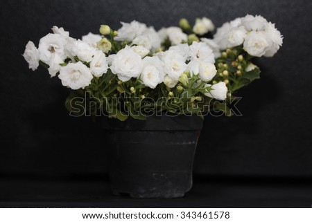 White campanula in flowerpot isolated on black  - stock photo