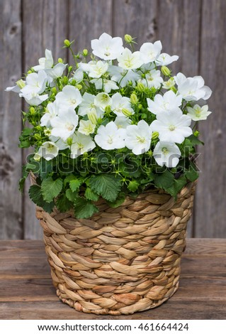 White Campanula or also known as Bellflowers in a Basket in front on a wooden Background.