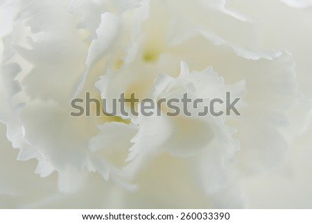 White carnation - stock photo