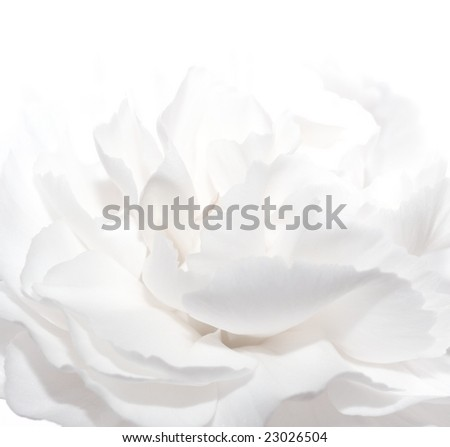 white carnation floral background - stock photo