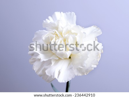 white carnation flower on grey background and space for text - stock photo
