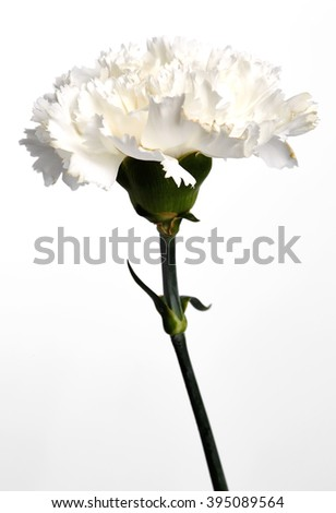 White carnation flower on the white background. - stock photo