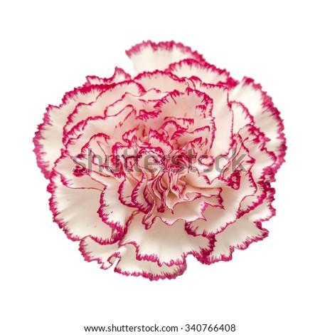 white carnation with dark pink petal edges isolated on white - stock photo