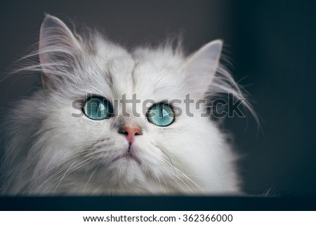 White cat chinchilla. Fluffy cute pet animal with bright green eyes - stock photo