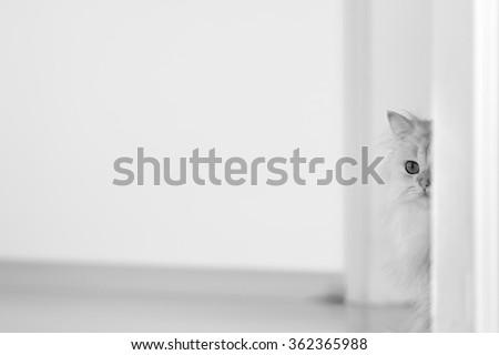 White cat chinchilla on a bright background - stock photo