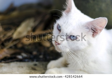 White cat have blue eyes, long hair
