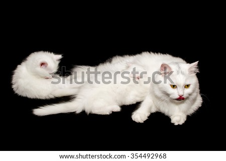 White cat is feeding her baby. Isolated image on black background.
