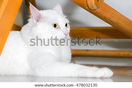 White cat is looking forward with copy space