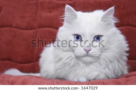 White cat on red couch