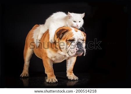 White cat riding english bulldog - stock photo