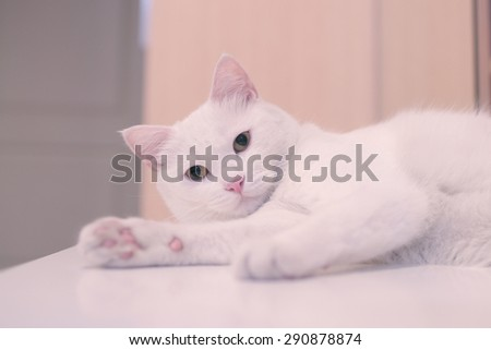 White cat, sleep on table